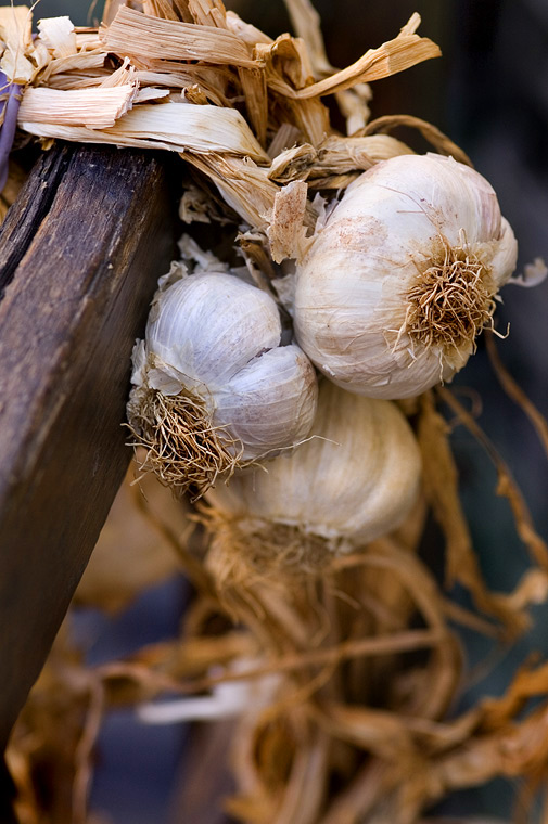 Garlic_by_rscorp